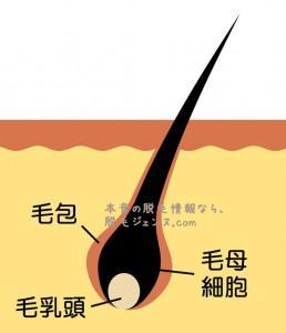 医療脱毛のレーザー脱毛は、ちゃんと毛乳頭をも破壊します