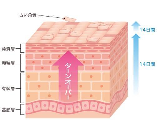 皮膚のターンオーバーの図
